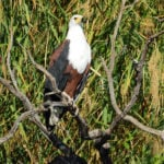 Kigelia Birdlife