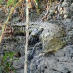 Sharwimbo crocodile